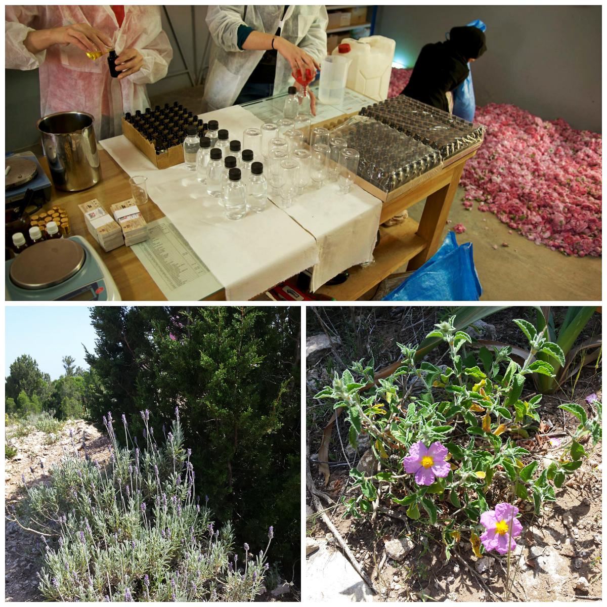 Destilacija in predelava vrtnic in rastlinje Maroka